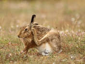 Bright Eyes . A Hare on Havergate Island .