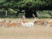 A beautiful albino Stag at Holkham hall estate trying to catch a butterfly .