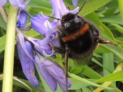 A Bumble Bee in the bluebells at Fritton lake