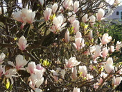 A beautiful Magnolia in the early morning spring sunshine
