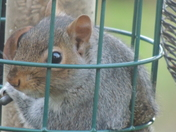 A Crafty Squirrel Looking Through the Seed Guard.