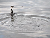 grebes of barton broad