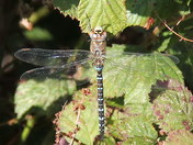 a male migrant hawker dragonfly.