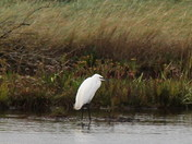 birds of cley marshes