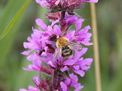 bumblebees, waxham churchyard, 04.08.12
