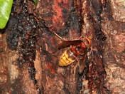 grebe nesting on wroxham broad. hornets feeding on oak tree