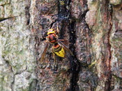 squirrel & hornet feeding on sap