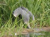 A heron's lunchbreak