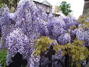 Wisteria in bloom at St Giles' Church, Norwich