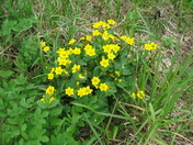 Kingcups on Eaton Marshes