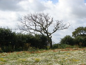 Tree at field boundary, Ringstead