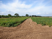 Potato crop with trackway for a crisp harvest
