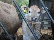Calf's growing up!