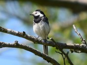 Pretty Wagtail