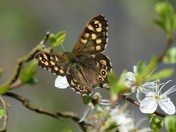 Speckled Wood in the garden