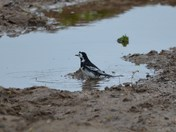 Bathing Pied Wagtail