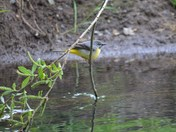 Little Yellow Wagtail