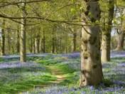 Blickling Bluebells