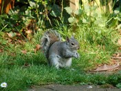 Squirrel in my late Dad's Garden