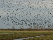 Lapwings filling the sky