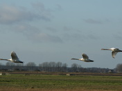 Swan Fly Past