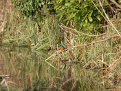An Early Breakfast for the Kingfisher