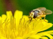 Tasty Yellow, Eupeodes corollae