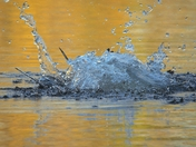 Diving Gulls in winter sun reflections