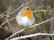 Norfolk is a hungry Robin at -8C