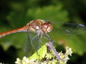 Strumpshaw Common Darters