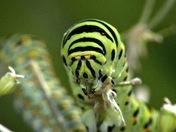 Swallowtail Caterpillars of Strumpshaw fen