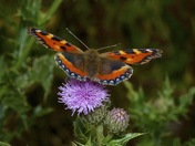 Butterflies of Strumpshaw walk