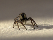 Jumping Spider on our bed