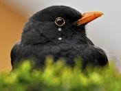 Blackbird on my Hedge