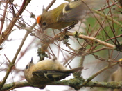 Goldcrests in my garden