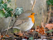 Robins in Loddon