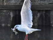 Gull Fishing