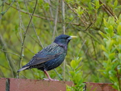 Various Starling Photos