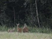 Family of Roe deer