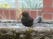 In the garden - blackbirds