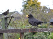 Our Friendly Blackbird