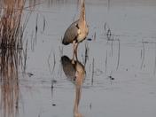 Grey heron at Hickling
