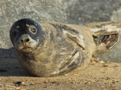 A young sunbathing seal