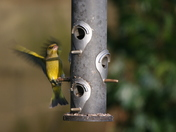 Goldfinch at the feeder in Norwich Road Dereham, Friday afternoon