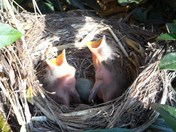 Baby blackbirds