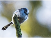 Long Tailed Tits in the garden