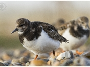Turnstones at Salthouse