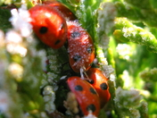 Ladybirds in freezing weather