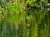 Norfolk Broads Kingfishers