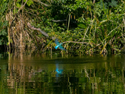 Norfolk Broads Kingfishers